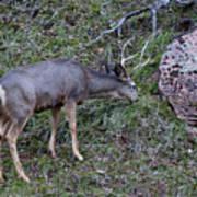 Elk With Antlers Art Print