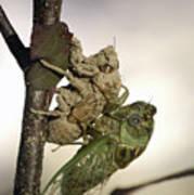 Emerging - Cicada 2 Art Print