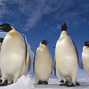 Emperor Penguins Antarctica Art Print