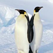 Emperor Penguins, Weddell Sea Art Print