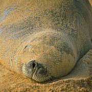Endangered Monk Seal Takes A Siesta At Poipu Beach. Art Print