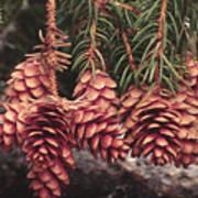 Engelmann Spruce Cones Art Print
