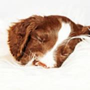 English Springer Spaniel Puppy Sleeping On Fur Art Print