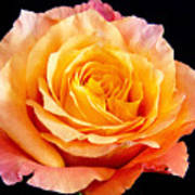 Enticing Beauty The Orange  Rose Art Print