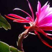 Epiphyllum Art Print