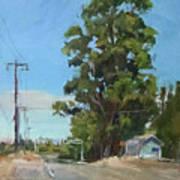 Eucalyptus Tree Near Schellville, Ca Art Print