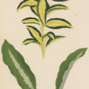 Euonymus Japonica Aurea Variegata, Maranta Micans Art Print
