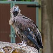 Eurasian Black Vulture 1 Art Print