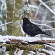 Eurasian Blackbird In The Snow Art Print