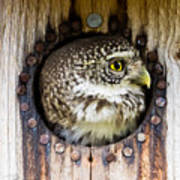 Eurasian Pygmy Owl In Profile Art Print