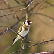 European Goldfinch 2 Art Print