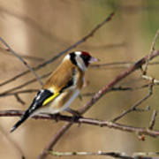 European Goldfinch 5 Art Print