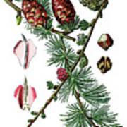 European Larch, Pinus Larix Art Print
