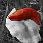 European Red Slug - Arion Rufus Art Print