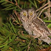 European Scops Owl  Art Print