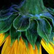 Evening Sunflower Art Print