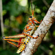 Everglades Grasshopper Art Print