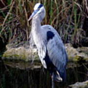Everglades Heron Art Print