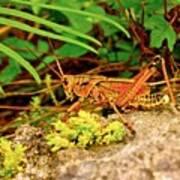 Everglades Locust Art Print