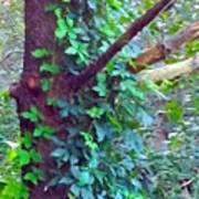Evergreen Tree With Green Vine Art Print