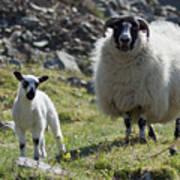 Ewe And Lamb No2 Art Print