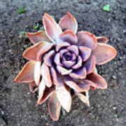 Exotic Succulent Plant - Pink Lilac Art Print