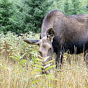 Eye-contact With The Moose Art Print