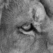 Eye Of The Lion #2  Black And White  Art Print