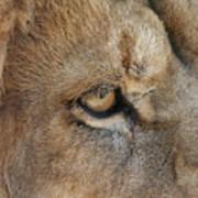 Eye Of The Lion #2 Art Print