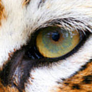 Eye Of The Tiger Print by Helen Stapleton