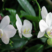 F11 Orchid Flowers Art Print