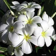 F13-plumeria Flowers Art Print