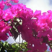 F15 Bougainvilleas Flowers Art Print