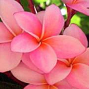 F23 Plumeria Frangipani Flowers Art Print