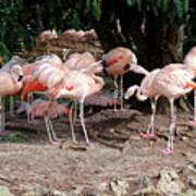 Fabulous Flamingos Art Print