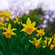 Daffodils Sky Art Print