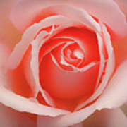Faded - Perfect Pink Rose Art Print