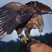 Falcon Art Print