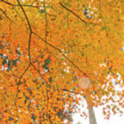 Fall Color Maple Leaves At The Forest In Aichi, Nagoya, Japan Art Print