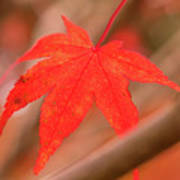 Fall Color Maple Leaves At The Forest In Kamakura, Kanagawa, Jap Art Print