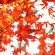 Fall Color Maple Leaves At The Forest In Kochi, Japan Art Print