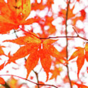 Fall Color Maple Leaves At The Forest In Kumamoto, Japan Art Print