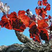 Fall Grapevines Art Print