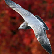 Fall Gull Art Print