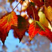 Fall In Maple Ridge Art Print