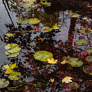 Fall Pond Reflections - A Story Of Waterlilies And Japanese Maple Trees - Take One Art Print