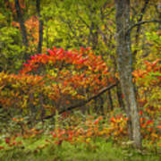 Fall Sumac Trees With Red Leaves In A Michigan Forest During Autumn Art Print
