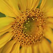 Fall Sunflower Avila, Ca Art Print