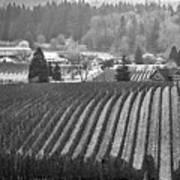 Vineyard In Black And White Art Print
