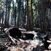 Fallen Sequoia Crescent Meadow Trail Art Print
